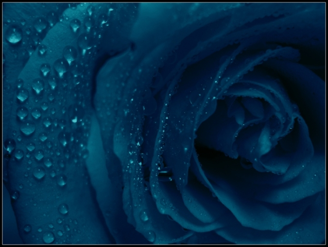 Blue Rose by RInnna