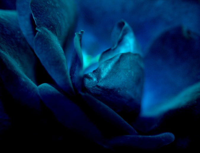 Blue Rose by Zillahderigeaud